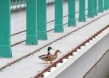 Zapora na rzece Rudawam, na której stoją kaczki.